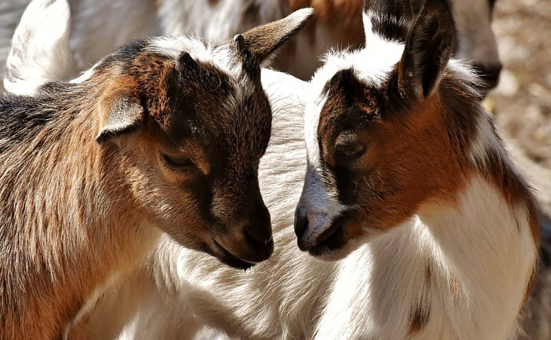 Breeding Meat Goats