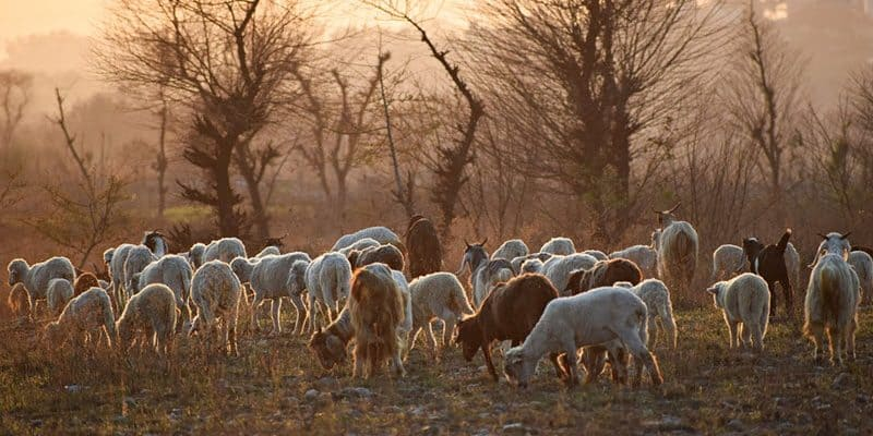 Goats for Clearing Land