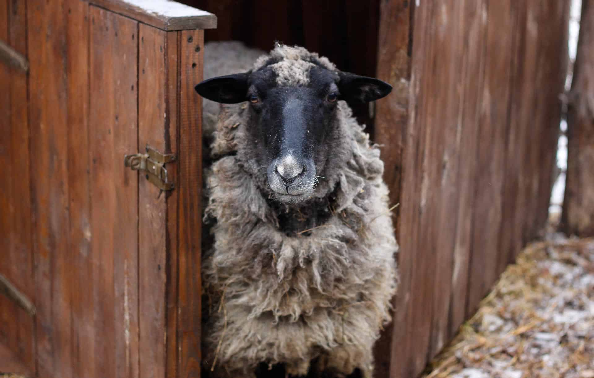 Best sheep fence ideas