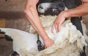 Sheep Clippers and Shears