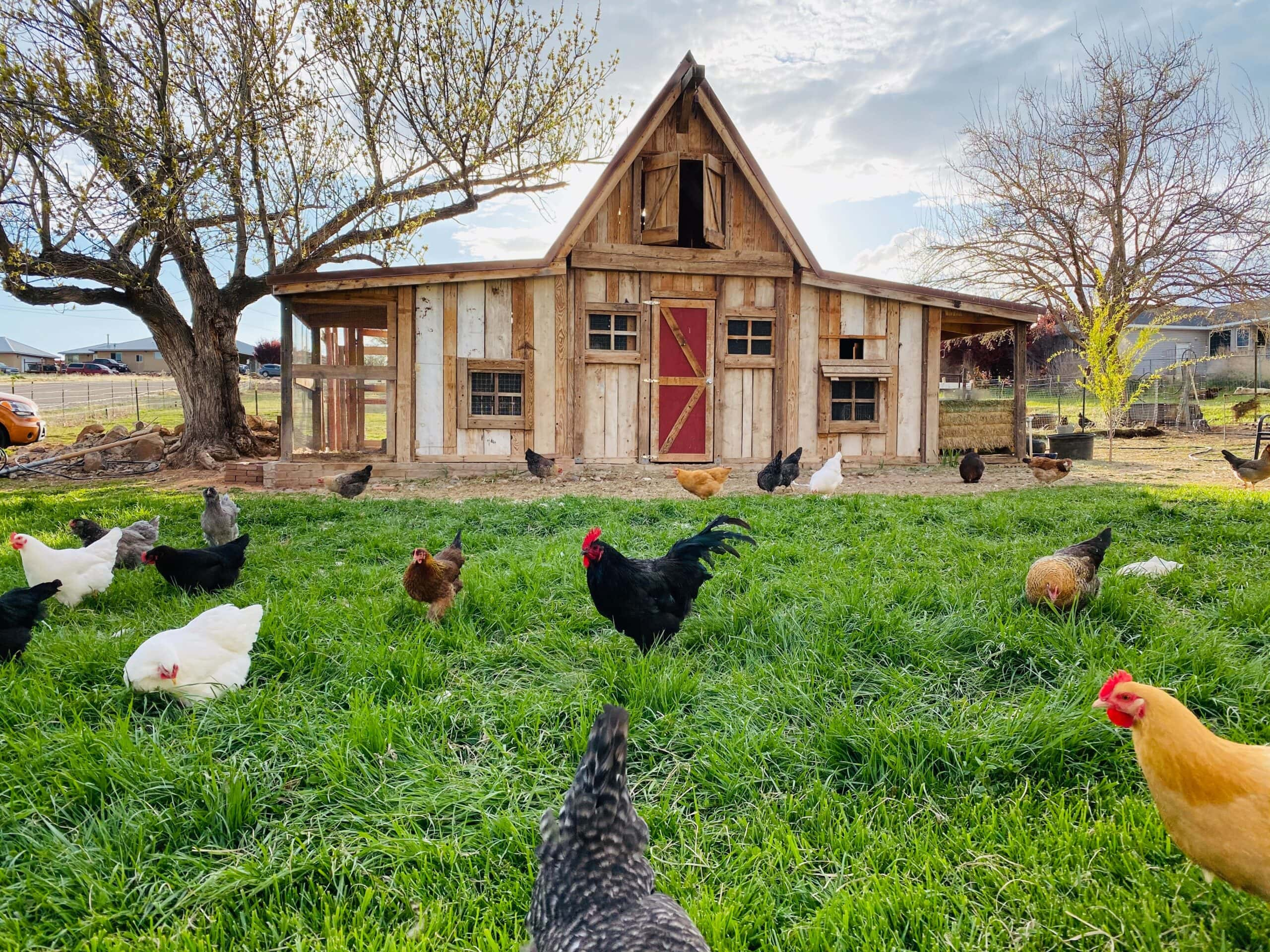 Chicken coop shed conversion