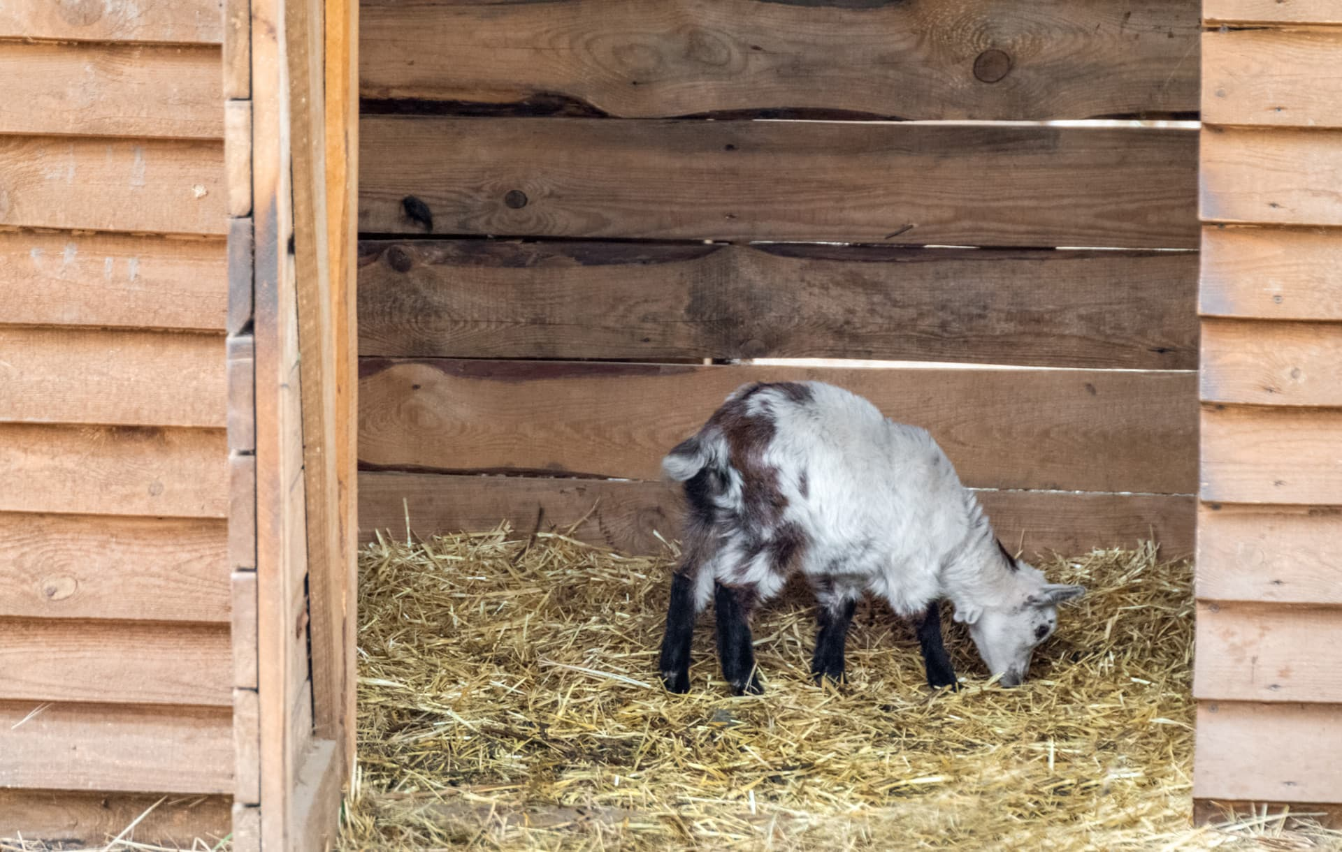 Our goat bedding and pen