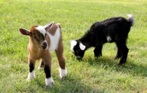How to raise goats starter guide