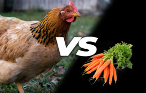 Can chickens eat carrots