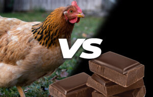 Can chickens eat chocolate